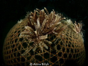 Feather stars on the net by Anna Bilyk